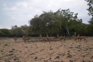 Kawanan rusa di savana