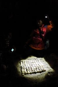 Menghitung telur penyu